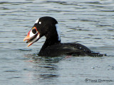 Surf Scoter with clam 5b.jpg