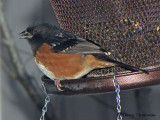 Spotted Towhee 12a.JPG