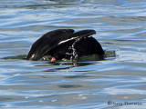 White-winged Scoter diving 1a.jpg