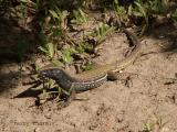 Amiva Lizard.jpg