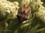 Shield-backed Bugs - Scutelleridae