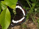 Brush-footed Butterflies - Nymphalidae