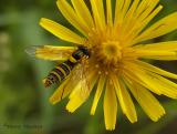 Sphaerophoria sp. - Flower Fly A1.jpg