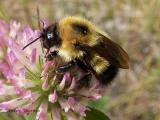 Bombus sp. - Bumblebee .JPG