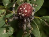 Araneus trifolium - Shamrock Spider.jpg