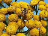 Phalangium opilio - Harvestman.jpg