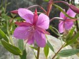 Broad-leaved Willow Herb.JPG