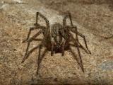 Agelenopsis utahana - Funnel-weaver Spider female.jpg