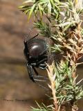 Latrodectus hesperus - Western Black Widow Spider .jpg