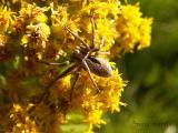 Thanatus sp. - Philodromid Spider jpg