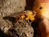 Dung Flies - Scathophagidae