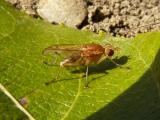 Marsh Flies - Sciomyzidae