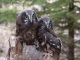 Boreal Owl young.JPG