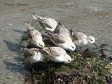 Sanderlings.JPG