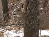 Mule Deer 1.JPG