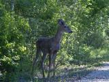 White-tailed Deer young buck 1.jpg