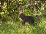 Varying Hare 1.jpg