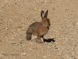 Varying Hare 2.JPG