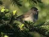 Dark-eyed Junco female.JPG