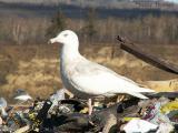 Glaucous Gull.JPG