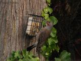 Northern Flicker, Red-shafted race.jpg