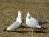Ring-billed Gulls courting 2.jpg