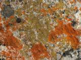 Mixed Lichens on rock 4.jpg