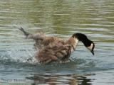 Canada Goose bathing 3.jpg
