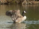 Canada Goose 22.jpg