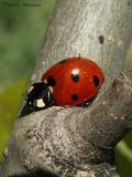 Ladybugs or Ladybird Beetles - Coccinellidae