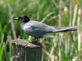 Black Tern 1a.jpg