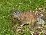Franklins Ground Squirrel 1.jpg