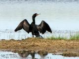 Double-crested Cormorant 1b.jpg