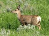 Mule Deer 7.jpg