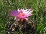 Pincushion Cactus 2.jpg
