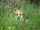 Red Fox 1.jpg