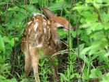 White-tailed Deer fawn 3a.jpg