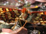 Euphydryas anicia - Anicia Checkerspot 3.jpg