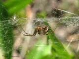 Neriene radiata - Filmy Dome Web Spider 4a.jpg