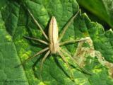 Tibellus sp. - Grass Spider A1.jpg