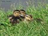 Mallard chicks 1.jpg