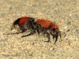 Velvet Ants - Mutillidae