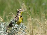 Western Meadowlark 12.jpg