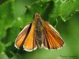 Thymelicus lineola - European Skipper 2.jpg
