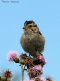 Clay-colored Sparrow 3.jpg