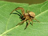Xisticus sp. - Crab Spider B1.jpg