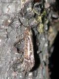 Caddisflies - Trichoptera