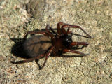 Amaurobiid spider A1.jpg