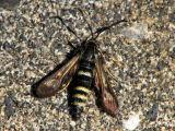 Clearwing Moths - Sesiidae