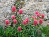 Castilleja sp. - Indian Paintbrush 4.jpg